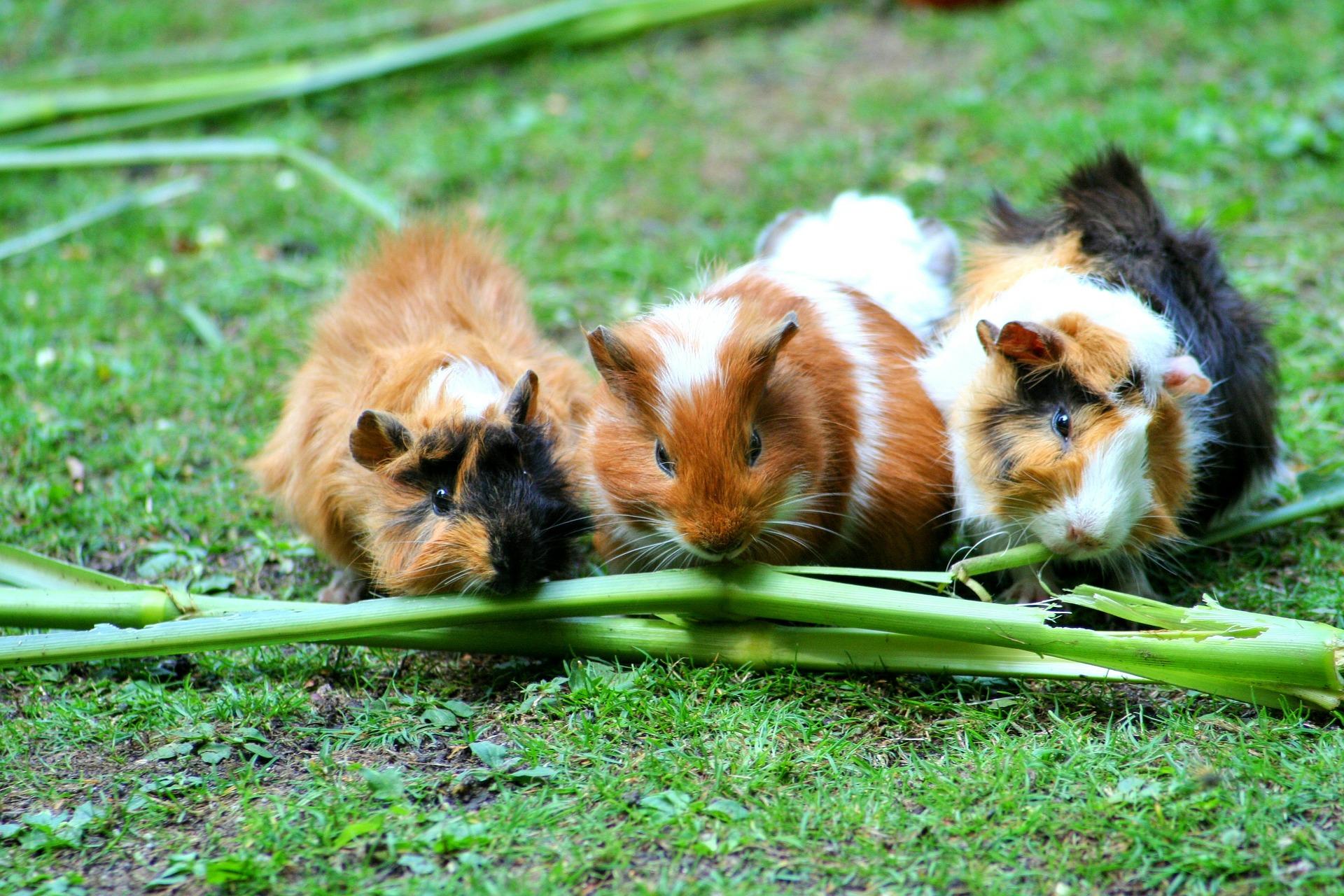 guinea-pig-208438_1920