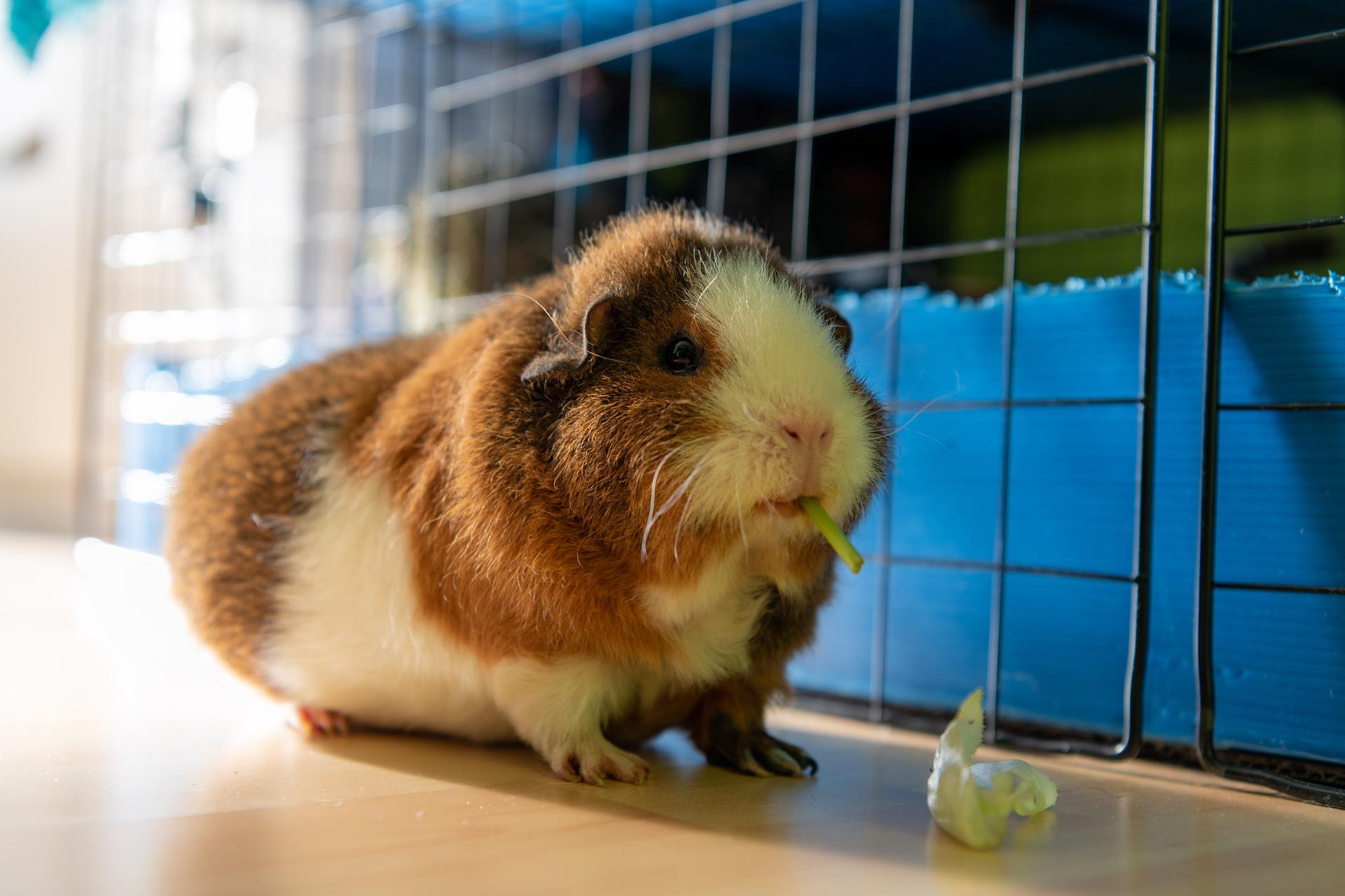 guinea-pig-5973591_1920